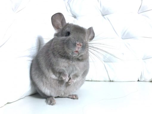 Cohabitation entre deux chinchillas