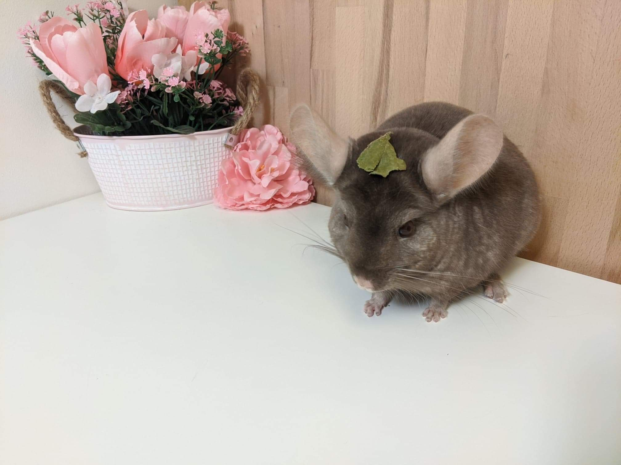 chinchilla-athena
